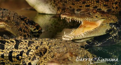 Asyiknya Memotret Buaya di Teritip Borneo.