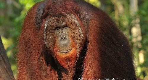 Taman Nasional Sebangau, Tempatnya Satwa liar di Borneo.