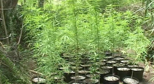 Muna introduces homegrown weed bill