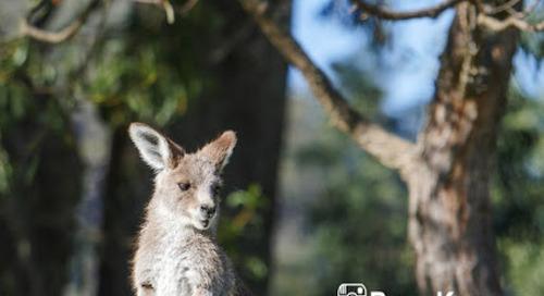 8 Fakta Unik tentang Kanguru.