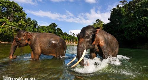 Fakta Unik tentang Gajah Sumatera.