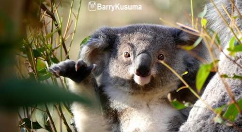 Fakta Unik Koala, Binatang imut yang hobi tidur.