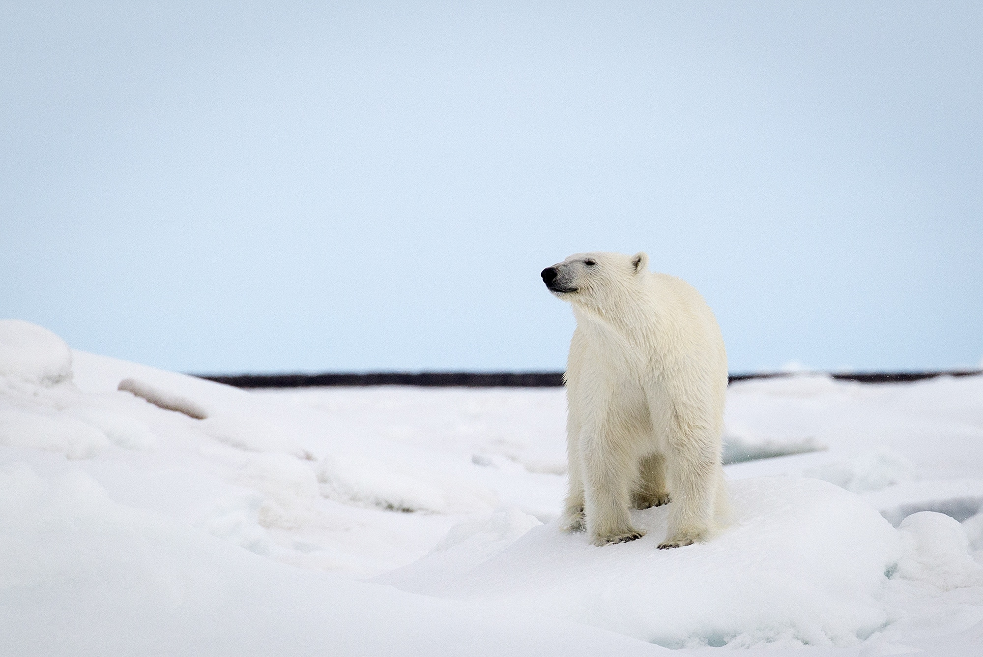 A majestic polar bear sniffs the crisp, clean air in Svalbard.