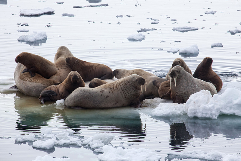 Hauled-out walrus congregate on the ice, as spotted by passengers en route to the North Pole.