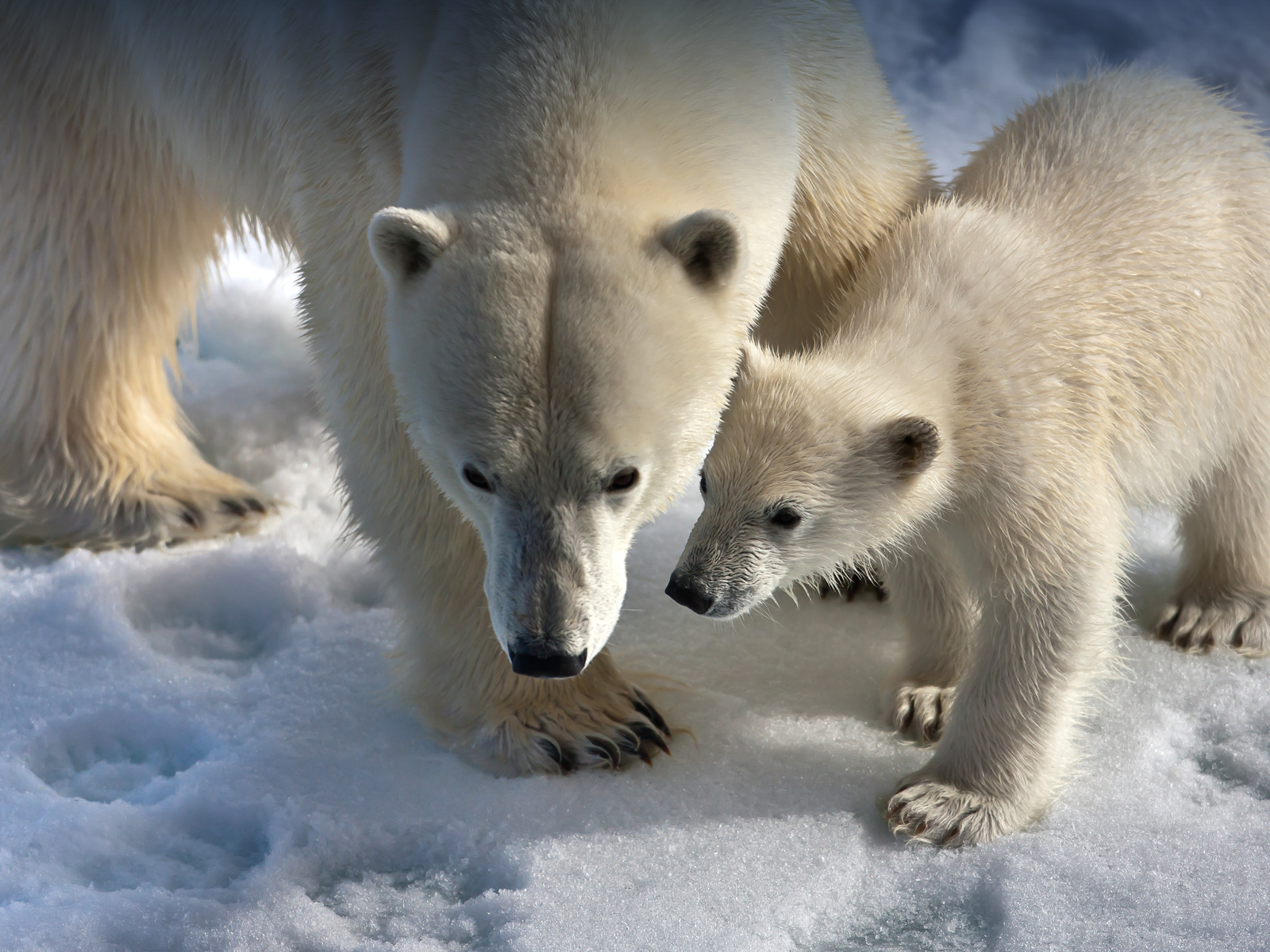 A female polar bear teaches her cub important Arctic survival skills in its first months out of the den