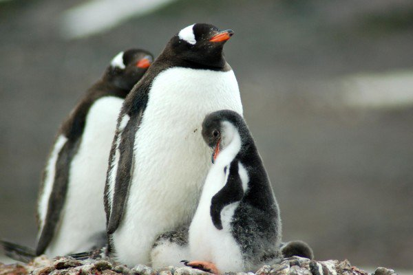penguin_family_polar_expeditions.jpg