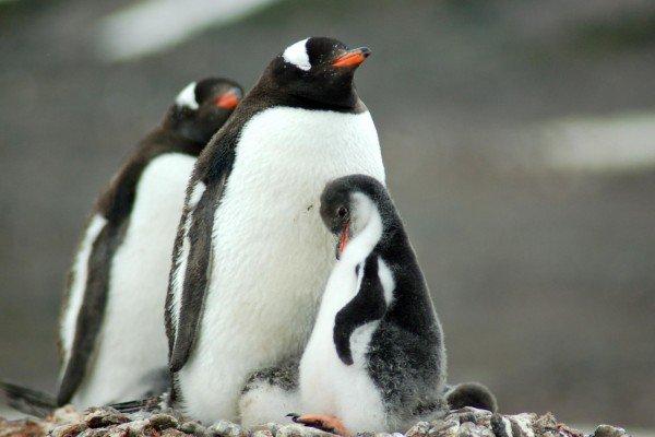 penguin_family_polar_expeditions.jpg
