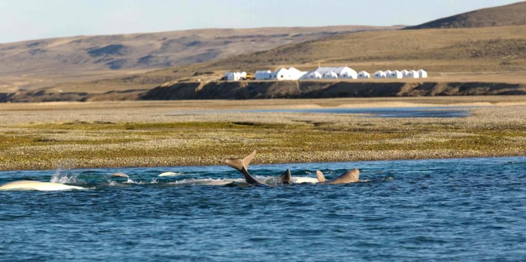 Arctic Watch Beluga