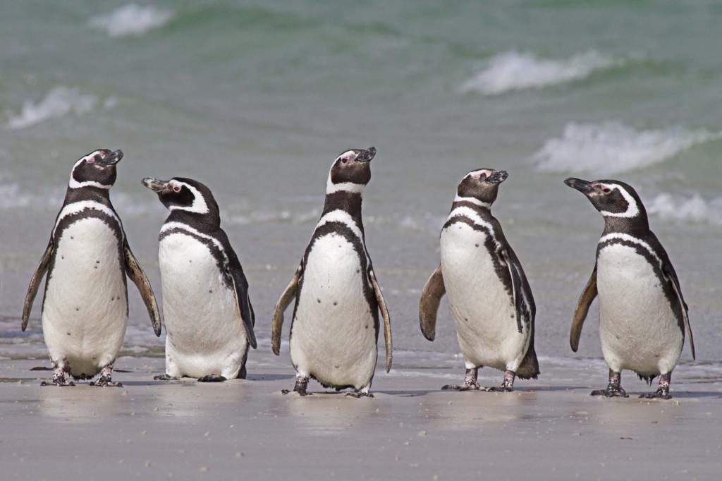Carcass Island, Magellanic Penguins