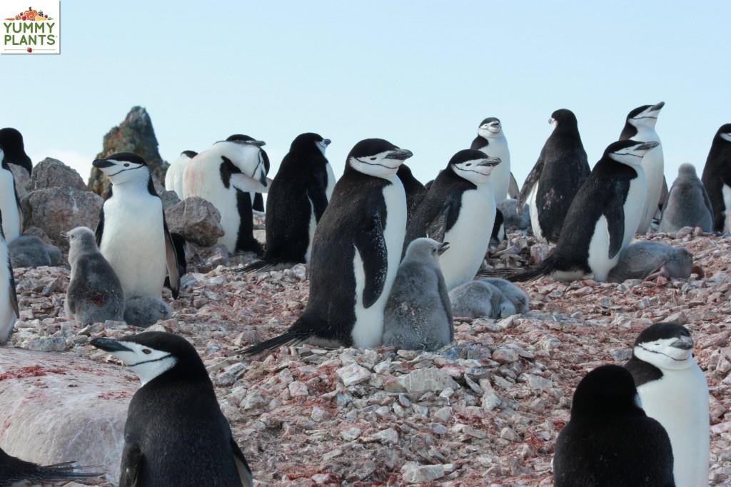 Chinstrap penguin chicks