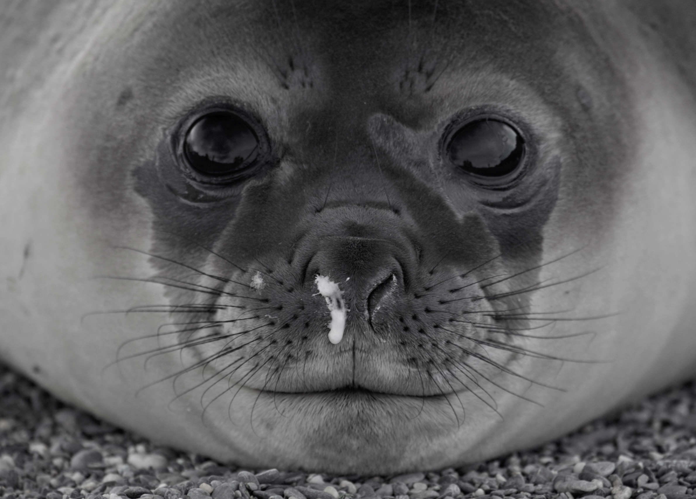 A seal peers into the camera, its face nearly symmetrical but for one noticeable difference that captures the viewer's attention.