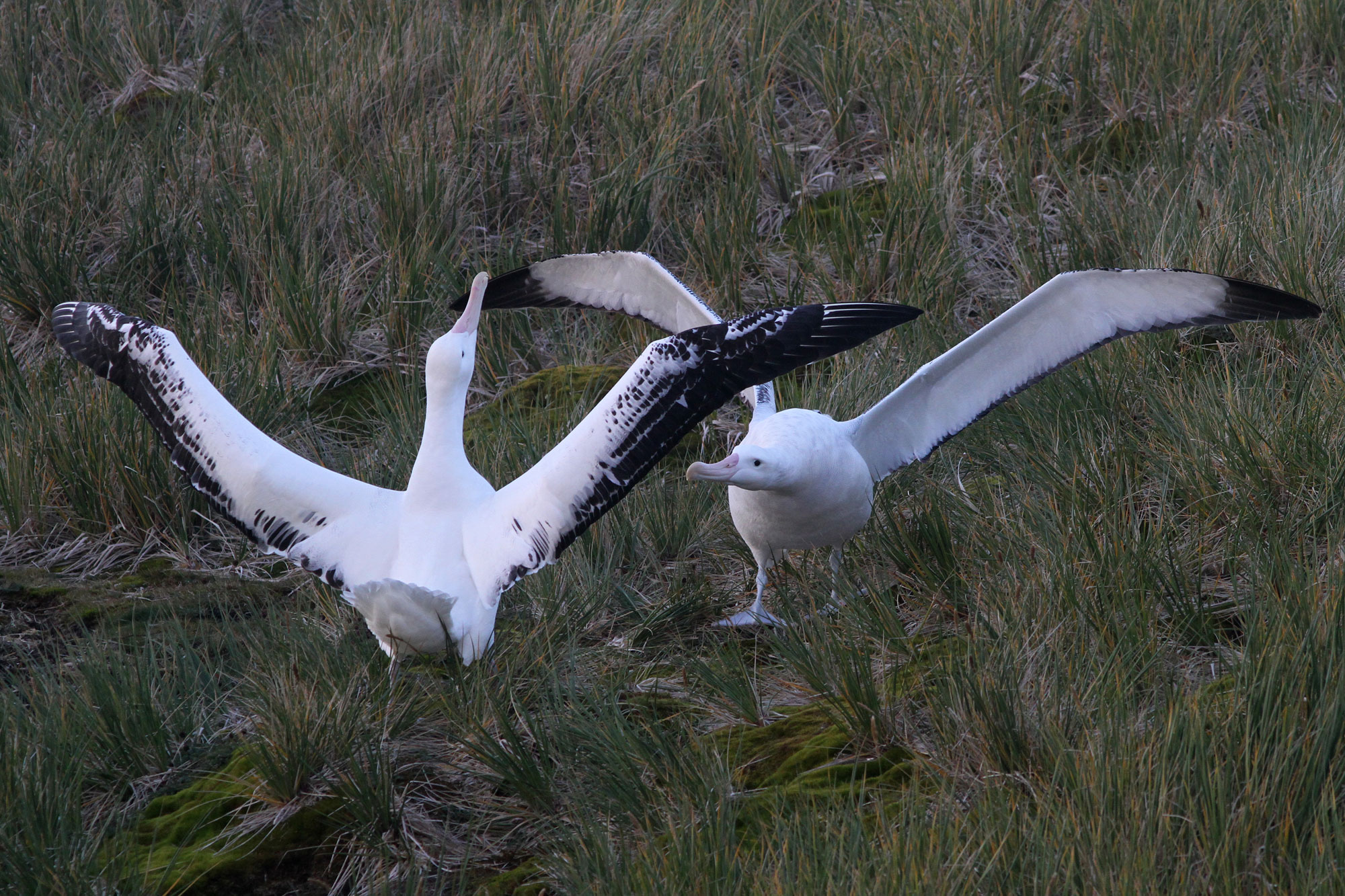 Wandering Albatross perform a courtship dance on the island of South Georgia, our first birding destination on the South Georgia to Cape Verde expedition. Photo: Noah Strycker
