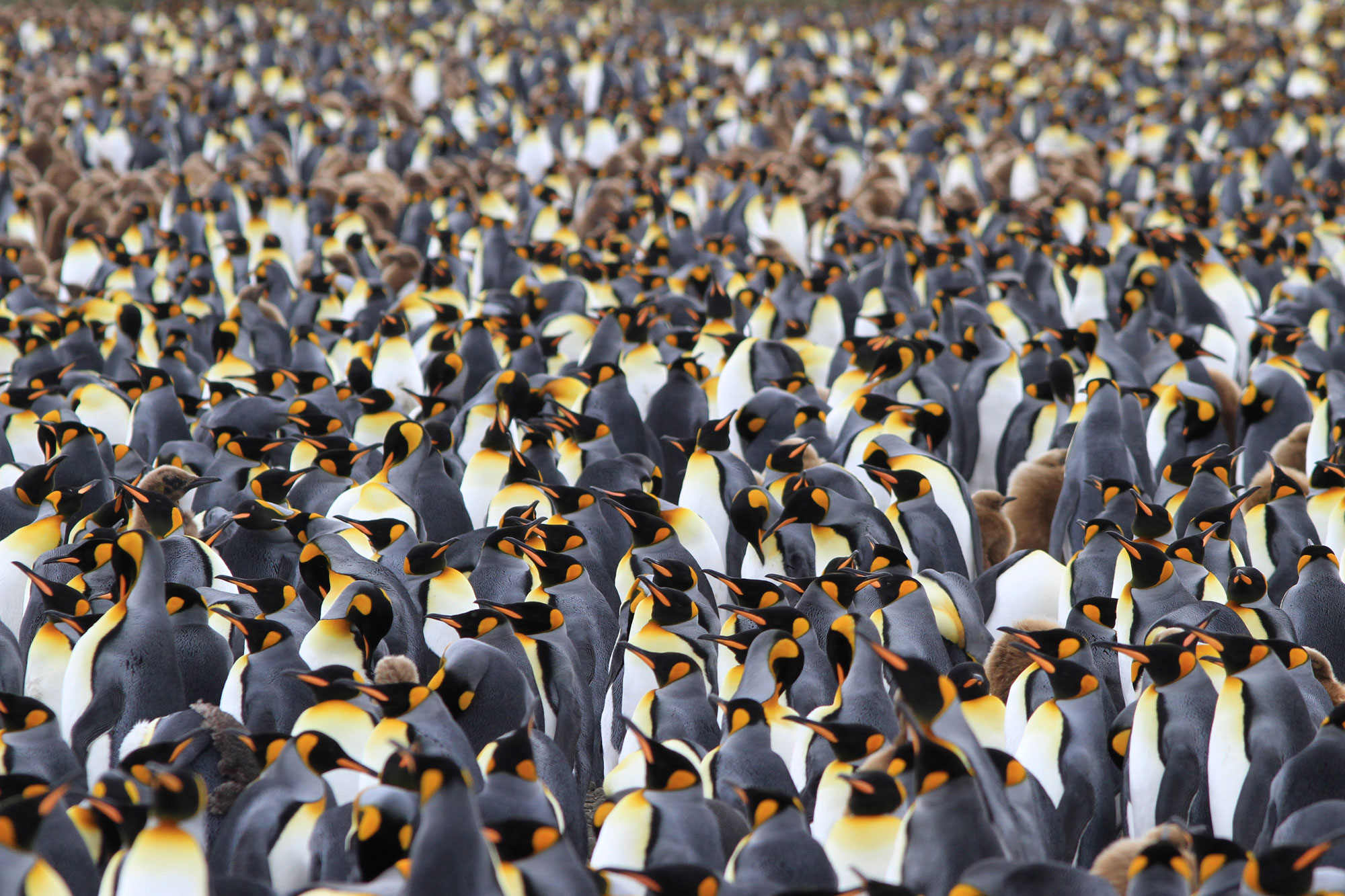 King penguins stand shoulder to shoulder on South Georgia, overwhelming visitors with their incessant calls, powerful smells and sheer beauty. Photo: Noah Strycker