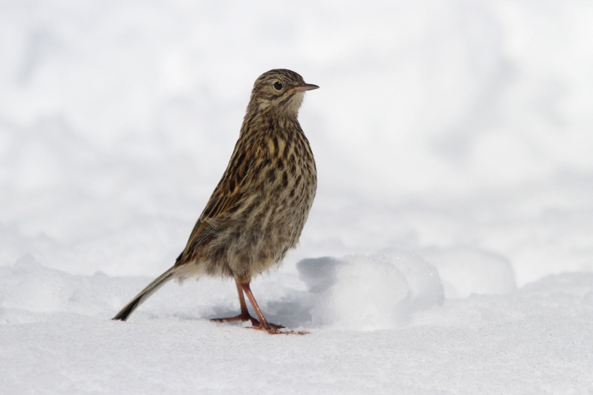 The South Georgia Pipit is one of the prize endemic species you might see on the South Georgia to Cape Verde expedition. Photo: Noah Strycker