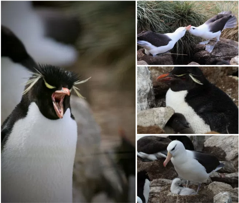 Albatross and Rockhopper penguins make their home at Westpoint Island in the South Shetlands.