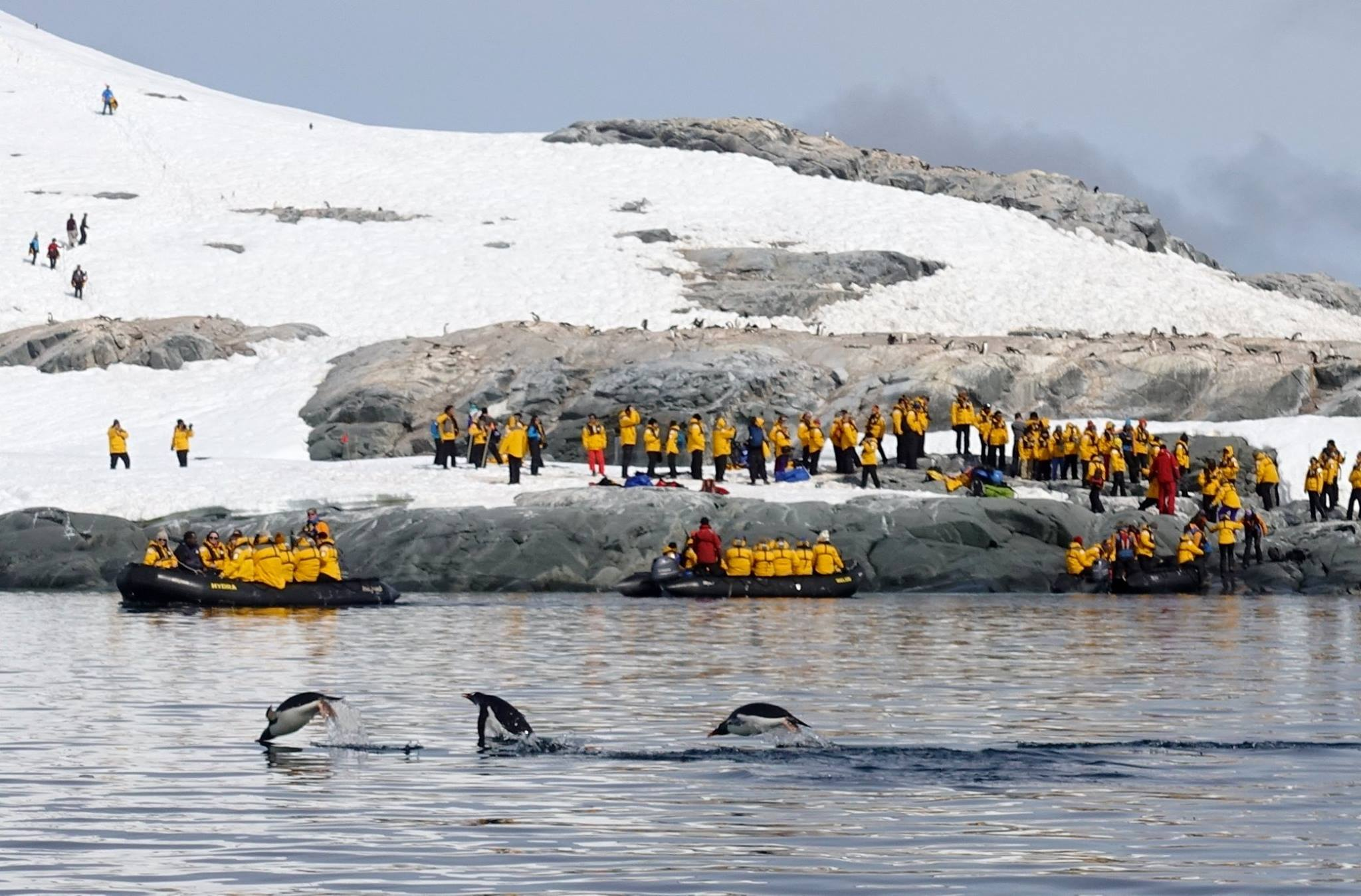 "Gentoo penguins ""porpoise"" in and out of the water at Useful Island as delighted passengers watch from Zodiacs and on land."