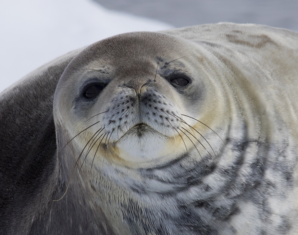 Weddell Seal- Photo Barbara Davis