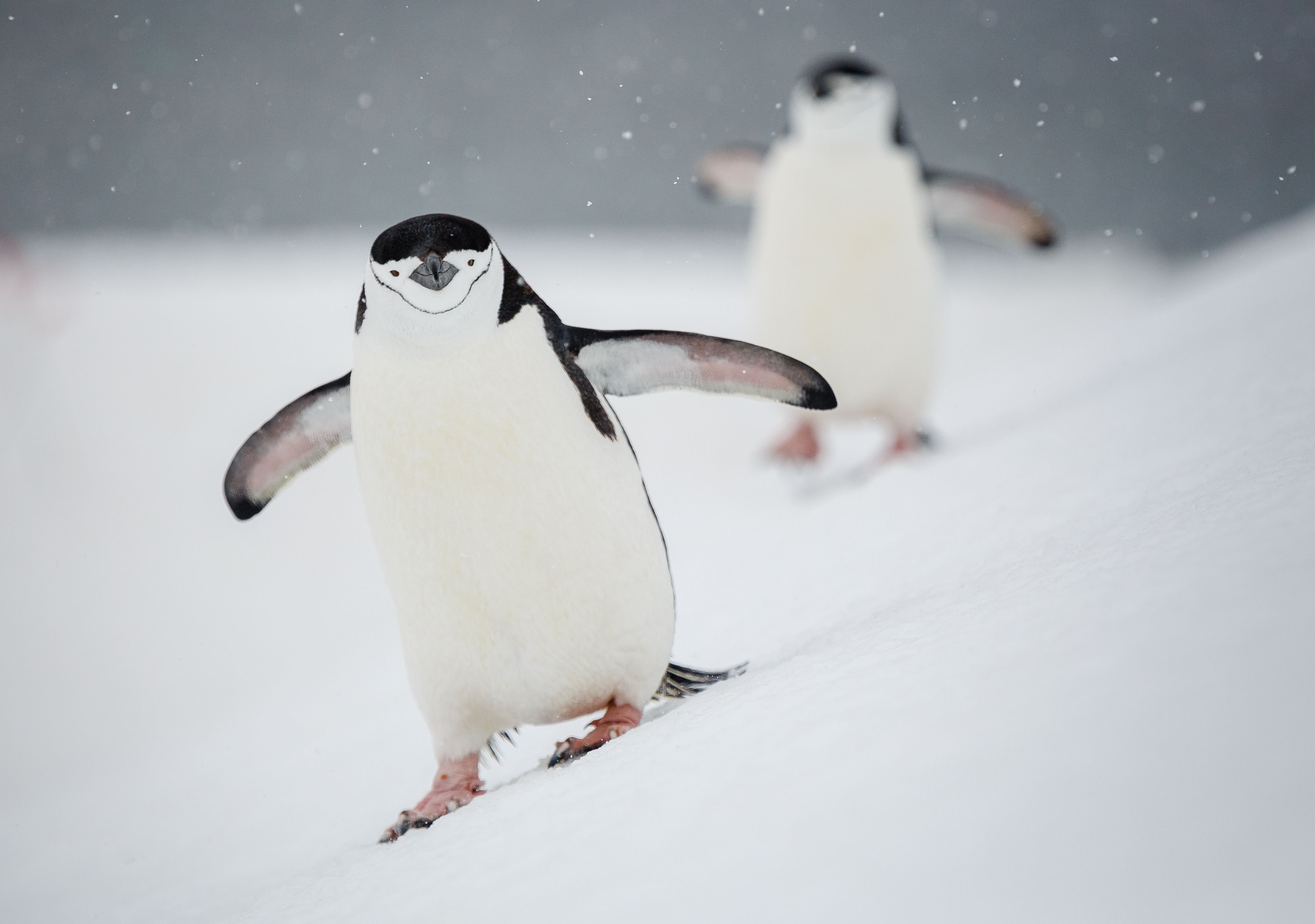 A pair of chinstrap penguins toddle down a snowy hill at Gourdin Island, Antarctica. Photo: Dave Merron