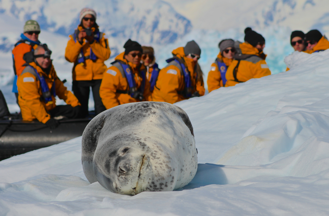 """Visit early in the season to see Antarctic animals like this """"smiling"""" leopard seal hauled out on unbelievably clean, pure ice and snow. Photo: Miranda Miller"""