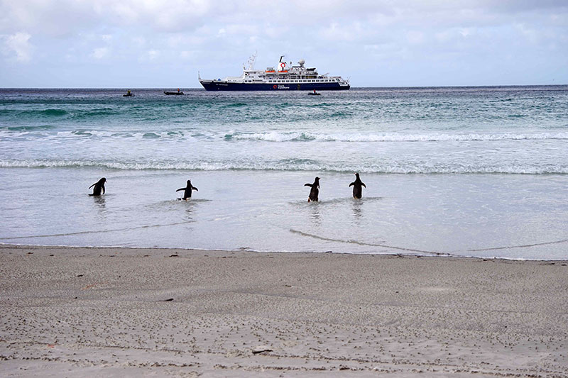 Penguins appear to rush out to greet the Quark Expeditions ship, as passengers in Zodiacs head to shore in the Falkland Islands (Islas Malvinas).