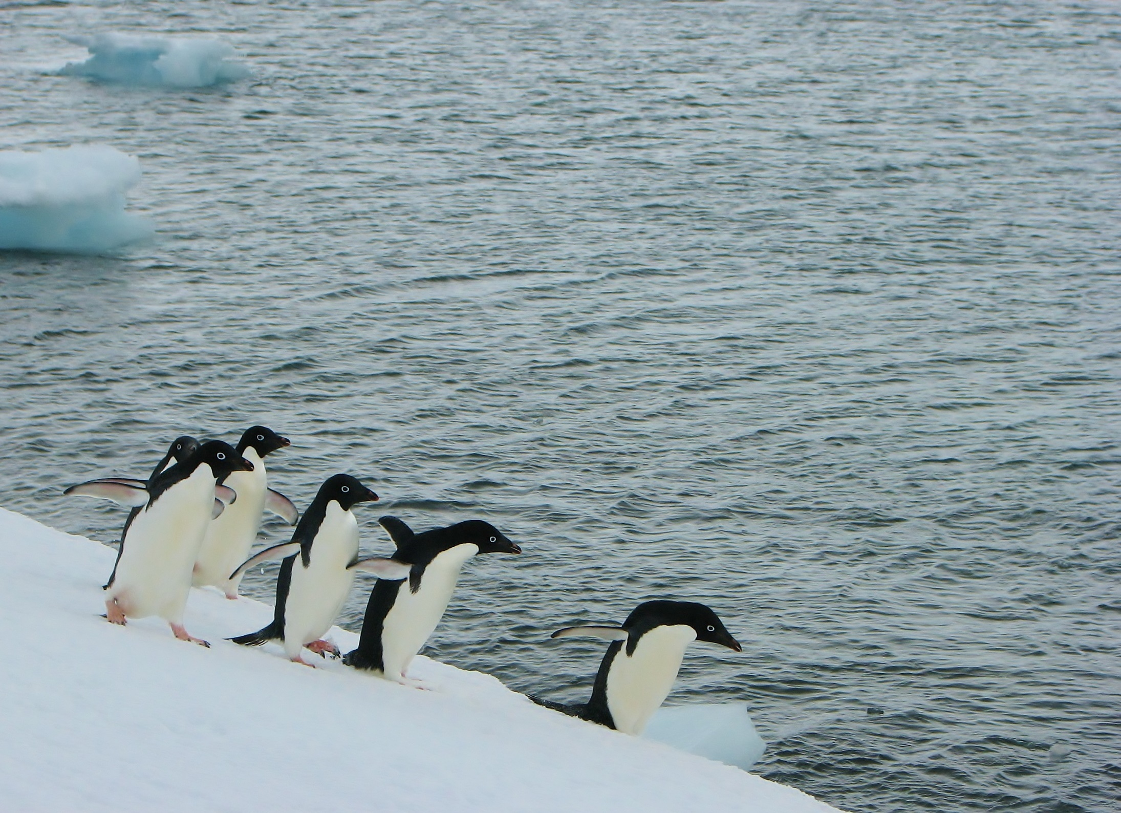 A group of Adélie penguins walking along an iceberg, South Shetland Islands, Antarctic Peninsula.  Photo: J. Hinke, NOAA