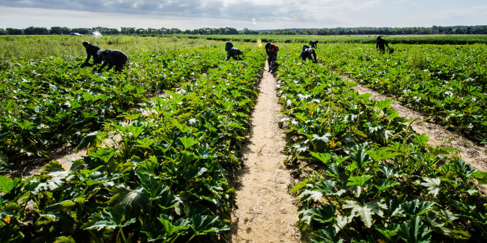 Robot crop pickers replace migrant workers