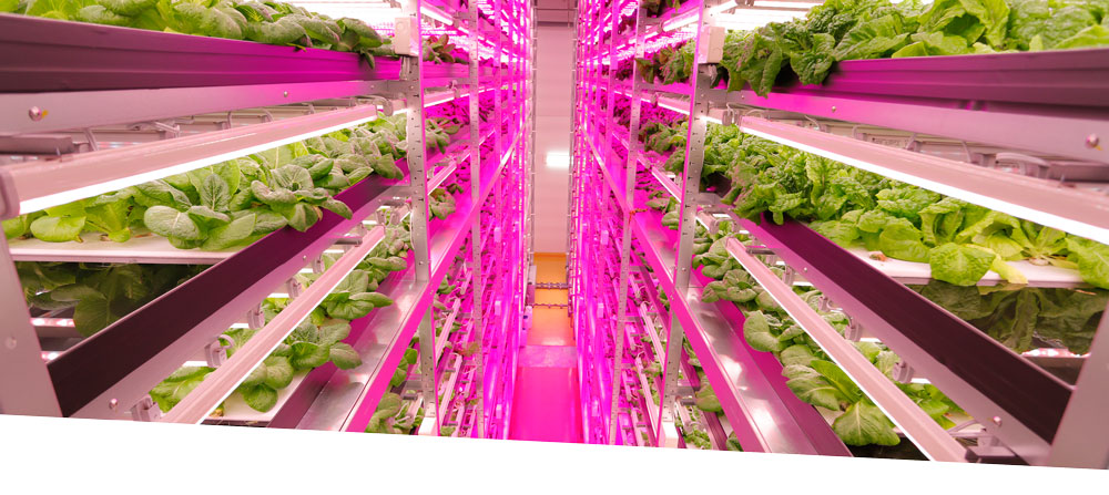 Japan LED Farming Lettuce