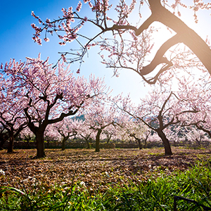 Almond farmers are working to reduce the environmental impact of agriculture